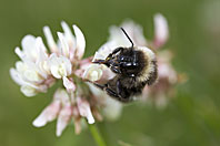 Bumble bee, Hummel, Bourdon, Bombus